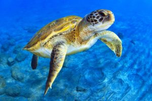 Sea Turtle Shower Curtains