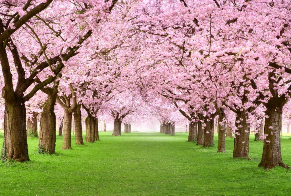 Cherry Blossom Shower Curtains