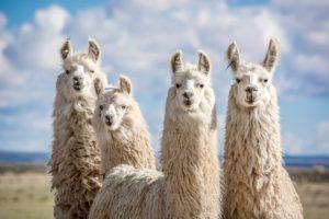 Llama Pillows